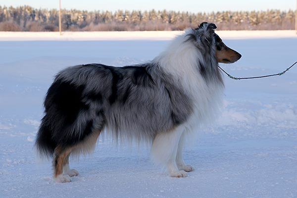 Pitkäkarvainen collie, Hawkfield's What's It To You